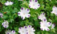 Немофила – выращивание из семян, когда сажать. Виды и сорта