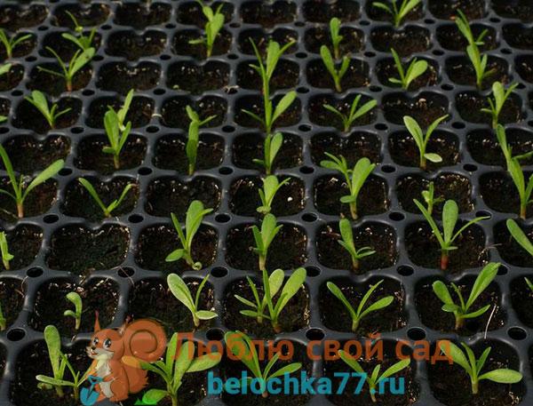 Выращивание рассады из семян