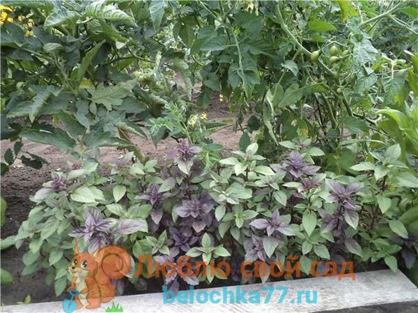 Лучшие соседи, что посадить рядом с помидорами?