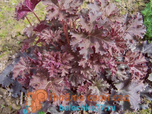Мелкоцветковая (H. micrantha)