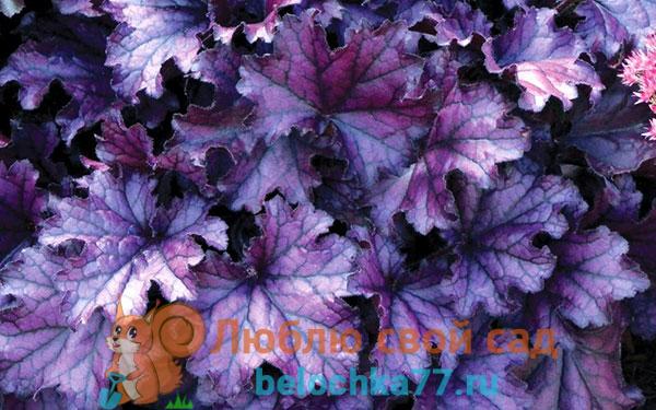 Фиолетовая гейхера Forever Purple