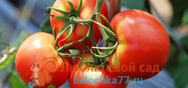 Самые лучшие сорта томатов для Подмосковья