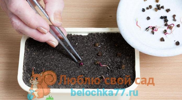 Посев семян свеклы