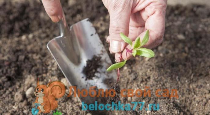 Как правильно вырастить рассаду свеклы