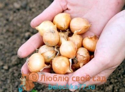После чего можно посадить лук, что сажать после лука