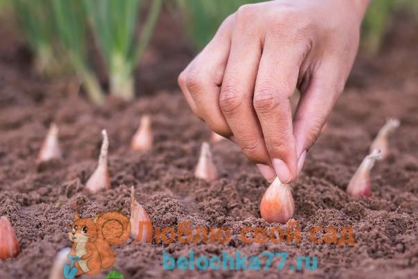 Какая почва и условия нужны для лука