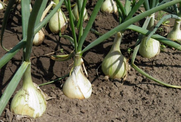 Как сажать лук без рассады в открытый грунт семенами