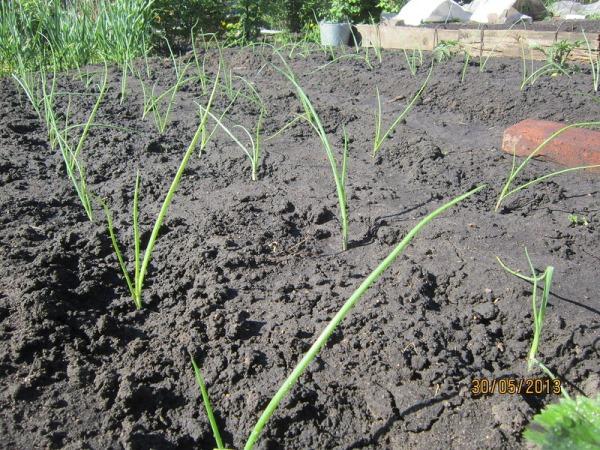 Когда и как высаживать рассаду в открытый грунт