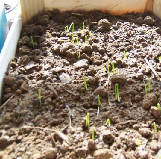 Как правильно посадить лук на рассаду, чтобы вырастить за один сезон