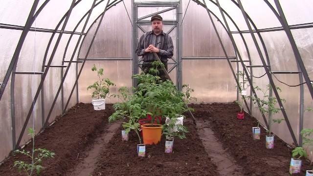 Когда сажать помидоры в теплицу