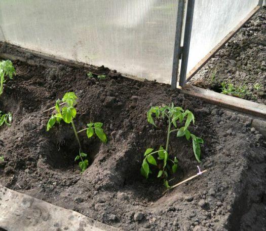 Как правильно посадить помидоры в теплицу
