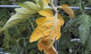 Почему желтеют и скручиваются листья у помидоров в теплице. Причины