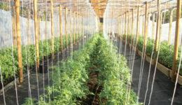 Как подвязывать помидоры в теплице из поликарбоната