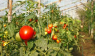 Уход за помидорами в теплице. Полив, подвязка, формирование, подкормка
