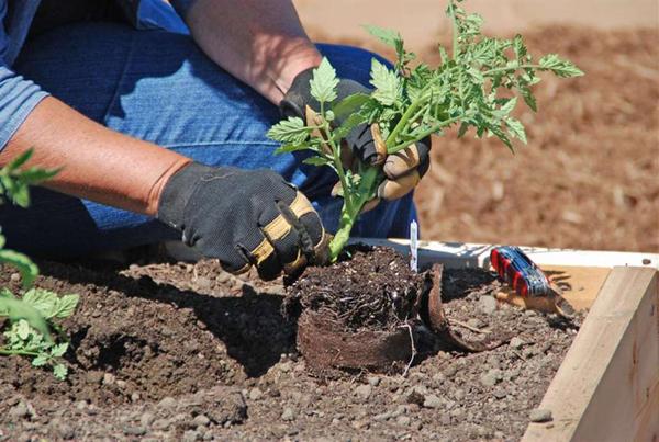 Высадка помидорной рассады