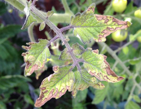 Недостаток калия на томатах