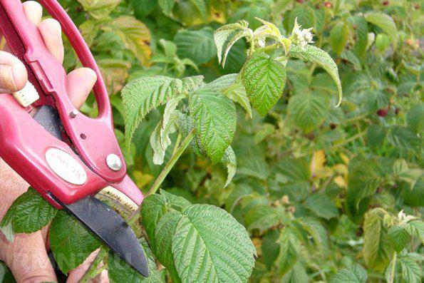 Советы бывалых садоводов по уходу за малиной