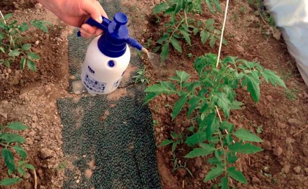 Когда опрыскивать помидоры от фитофторы в теплице