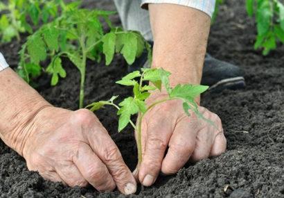 Как сажать помидоры в открытый грунт правильно. По регионам, по Лунному календарю