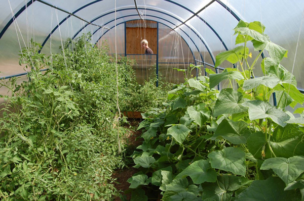 Если в теплице растут помидоры