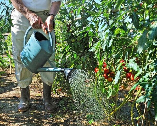 Как часто нужно поливать помидоры в теплице