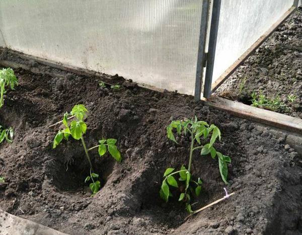 Когда высаживать помидоры в теплицу
