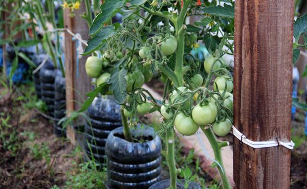 Как правильно подвязать помидоры в теплице