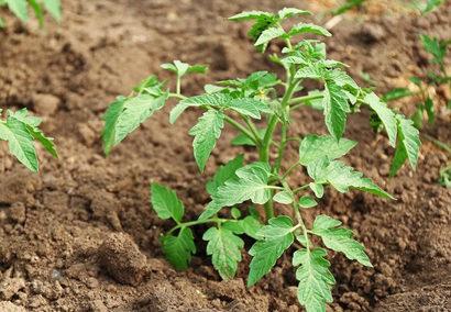 Когда открывать помидоры в открытом грунте. Как высаживать рассаду в открытый грунт