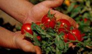 Как и чем подкормить помидоры в теплице, чтобы были толстенькие Народные средства без химии. Отзывы