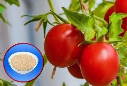 Подкормка помидоров дрожжами, рецепт. Когда и сколько раз подкармливать