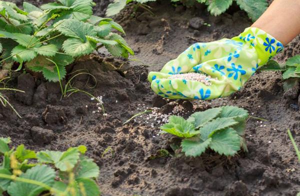 Внесение удобрений под клубнику