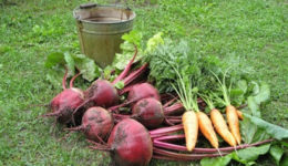 Когда выкапывать свеклу и морковь на хранение. Как хранить зимой