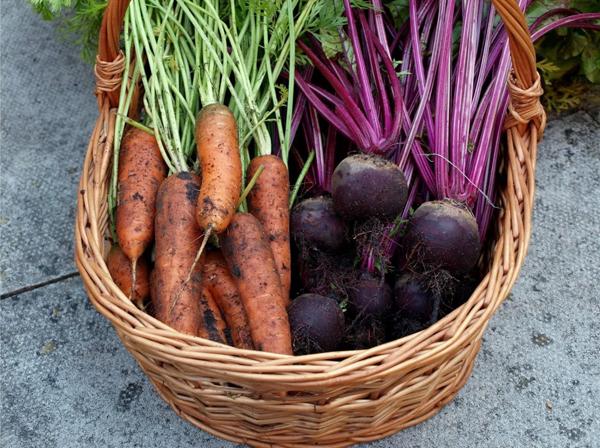 Как правильно убирать морковь и свеклу с грядок на зиму