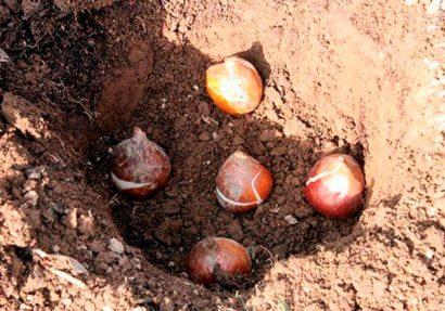 Когда сажать тюльпаны осенью в открытый грунт и как правильно