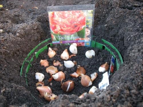 Почему нужно сажать тюльпаны осенью