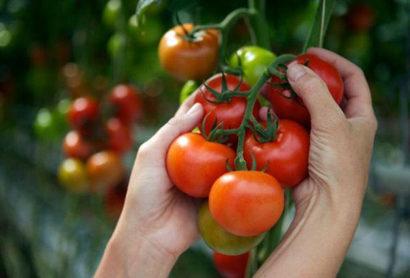 Благоприятные дни для выращивания томатов в 2019