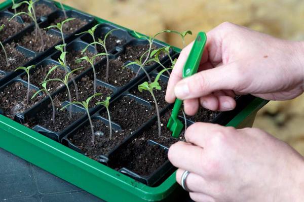 Благоприятные и неблагоприятные дни по уходу за рассадой помидор