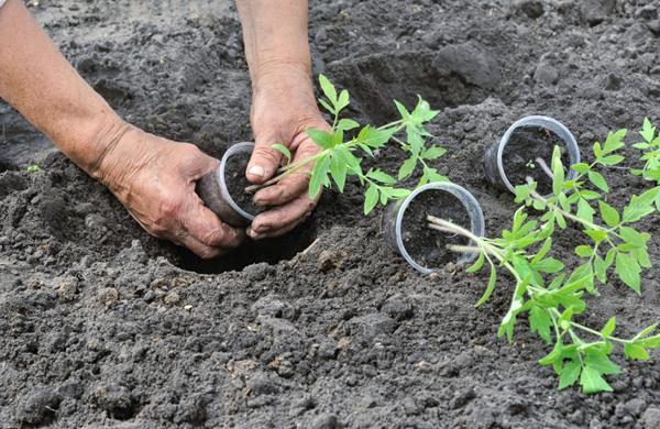 Благоприятные и неблагоприятные дни для высадки рассады помидоров в открытый грунт или теплицу