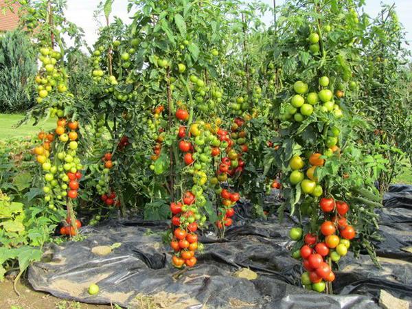 Самые высокоурожайные сорта и гибриды