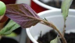 Почему рассада помидор фиолетовая и плохо растет на подоконнике