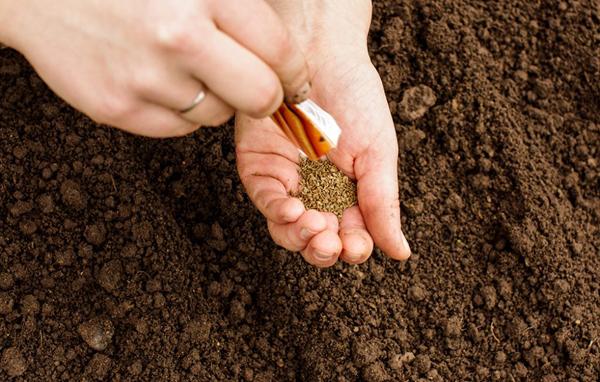 Преимущества посадки подготовленных семян моркови