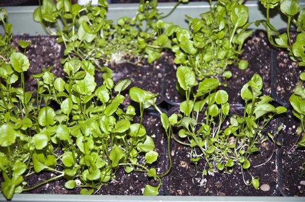 Советы бывалых садоводов о выращивании лобелии