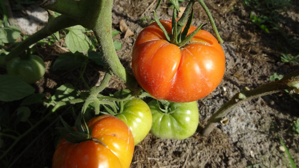 Рейтинг лучших сортов томатов для Сибири 2018 год