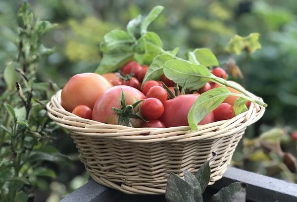 Какие сорта помидоров рекомендуется выращивать в Сибири