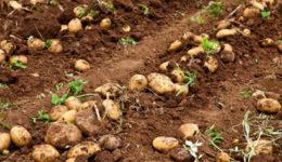 Что сажать после картофеля на следующий год. Осенью, под зиму