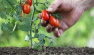 Низкорослые сорта помидоров для открытого грунта с фото