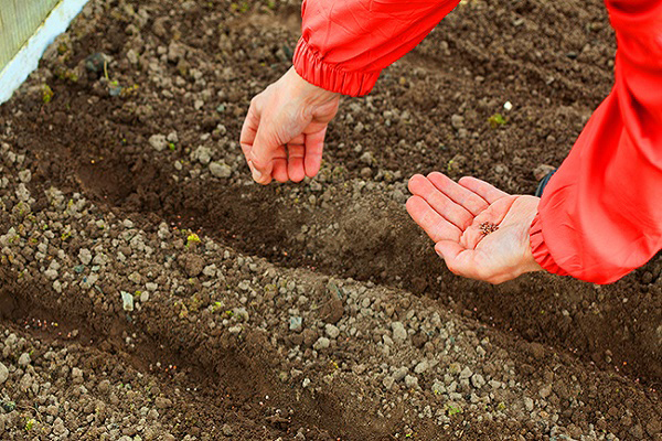Что посадить летом после уборки чеснока