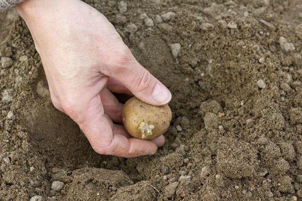 Можно ли сажать картофель после картофеля