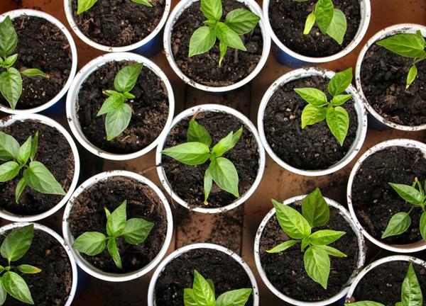 Особенности выращивания рассады сладкого перца в домашних условиях