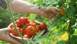 Лучшие сорта томатов для Сибири с фото и описанием